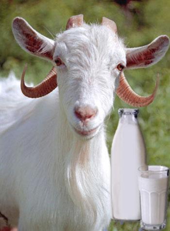 козье молоко - здоровье в стакане