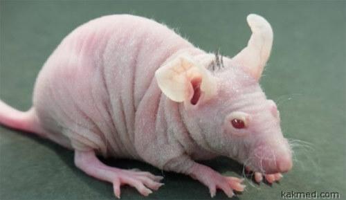 подопытная мышь с искусственной шерстью