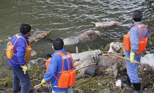 Дохлые свиньи в китайской реке