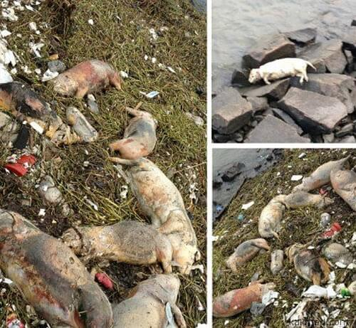 2200 свиных трупов в Шанхае