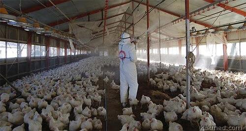 И снова птичий грипп, покой нам только снится