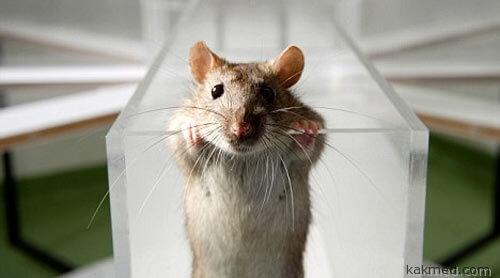 Заинтересованная крыса