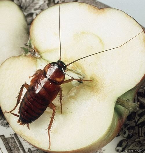 Тараканы разлюбили яблоки