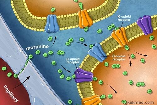 морфиновые рецепторы