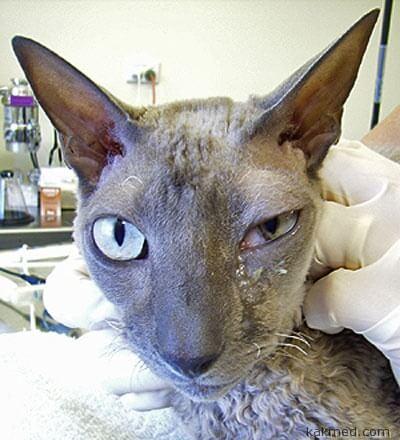 Грибковая инфекция у кошки