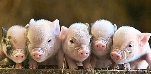 Мини-свиньи спасители человечества
