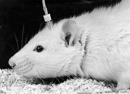 Что творится в мозгу у мышки