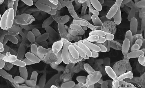 Планомоноспора полезная бактерия