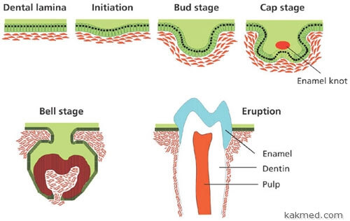 Вырастить зуб из стволовых клеток