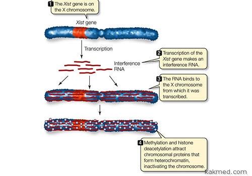 Инактивация хромосомы