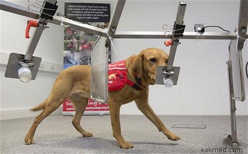 Собаку натаскивают на биомаркеры рака