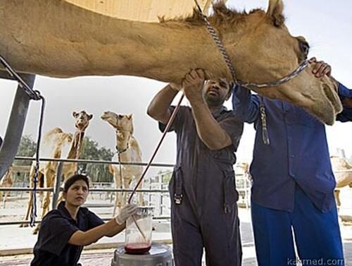 Верблюжья кровь