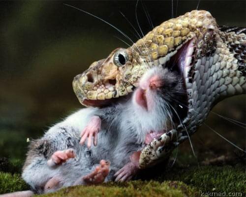 Испытаем противоядие на мышах