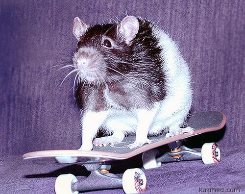 """Крыса на """"спидах"""""""