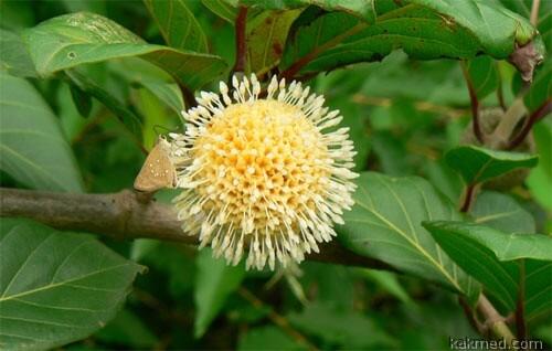 Дерево-аптека — источник трамадола