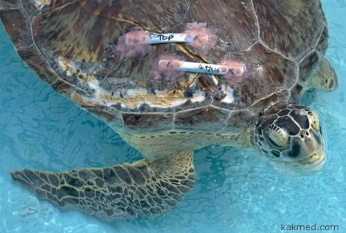 Ремонт карапакса черепахе