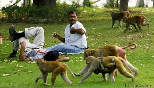 Обезьяны хозяйничают в Дели
