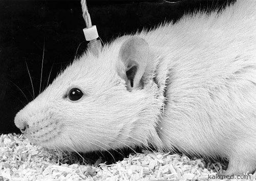 Крыса бросает употреблять героин
