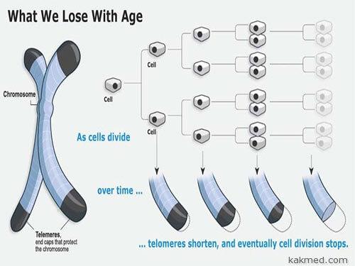 Теломеры и старение