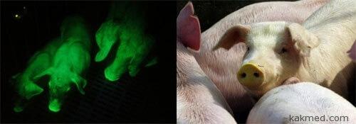 Ультрафиолетовые свиньи