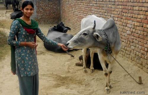 Корова кормилица