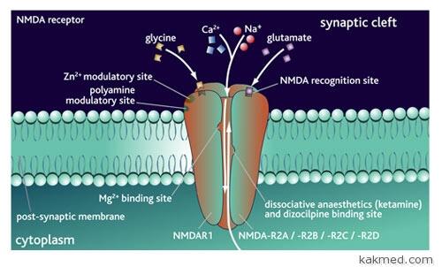 NMDA рецептор