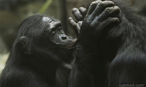 Любят ли музыку обезьяны