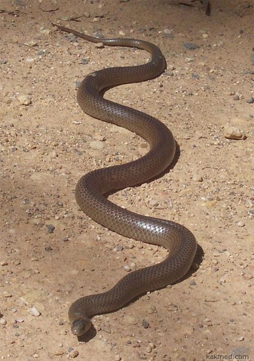 Самая опасная змея из Австралии