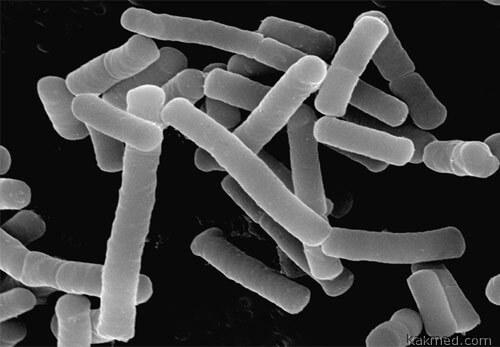 Лактобациллы колонизируют кал