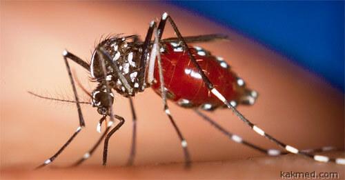 Комар разносчик чикунгуньи