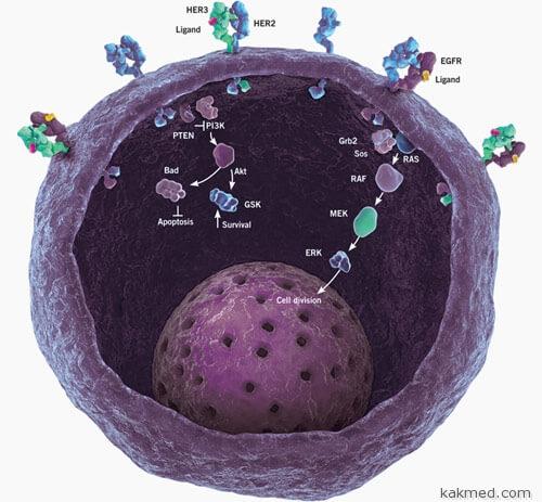 Различные рецепторы живой клетки