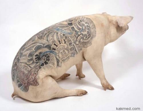 Татуировки у свиней