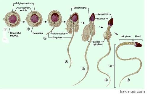 Сперматид и сперматозоид