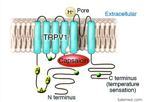 03-capsaicin-receptor