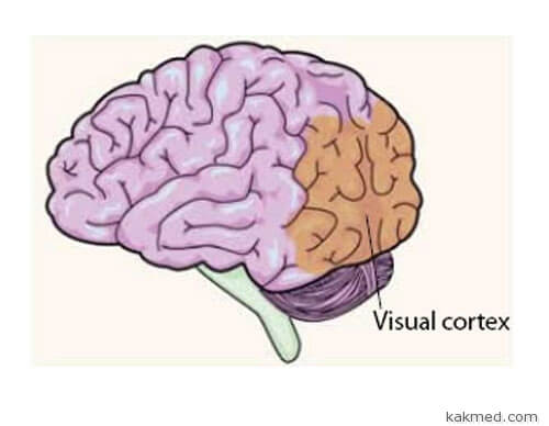 03-visual-cortex